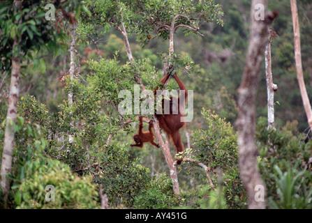 Orang-Utan, Orang-Utan, Orang Utan, Orang-Utan, Orang-Outang, Orang-Utang, Pongo Pygmaeus Reserve de Tanjung putting - Stockfoto