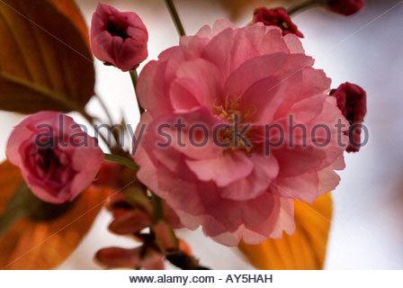 Prunus Serrulata - Oriental blühenden Kirschbaum - japanischen Blütenkirsche - Stockfoto