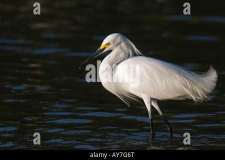 Silberreiher Snowy egret - Stockfoto