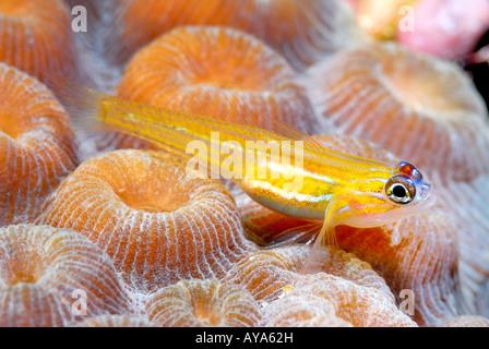 Eine kleine gelbe Pfefferminz-Grundel sitzt auf dem Riff in der Karibik - Stockfoto