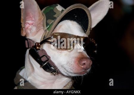 Chihuahua Hund verkleidet mit Sonnenbrille - Stockfoto