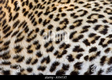 Nahaufnahme von Leopard, Greater Kruger National Park, Südafrika - Stockfoto