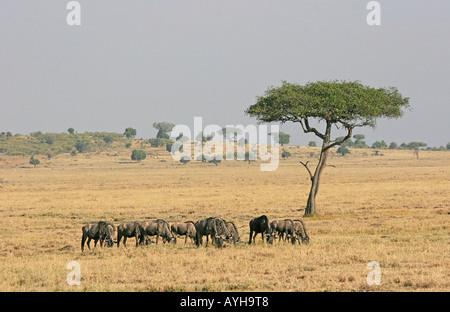 Wilde Tiere grasen unter Akazie in afrikanischen Wildpark - Stockfoto