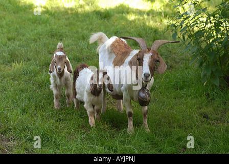 Boer Ziege mit zwei jungen - Stockfoto