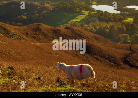 Herdwick Schafe an den Hängen des Loughrigg fiel mit Elter Wasser und das Brathay Tal weit unten - Stockfoto