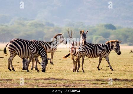 Eine Herde von gemeinsamen Zebras grasen auf den Ebenen neben Lake Manyara in East African Rift Valley in Tansania. - Stockfoto