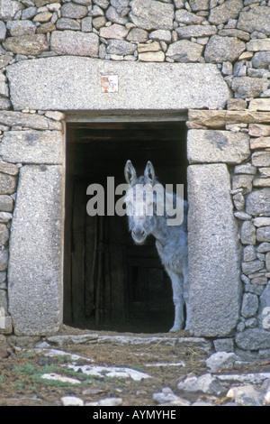 Inländische Esel (Equus Asinus, Equus Africanus) auf der Suche heraus vom Eingang in den Stall - Stockfoto