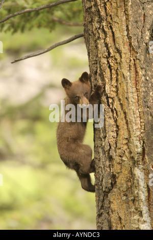 Black Bear Cub Kletterbaum - Stockfoto