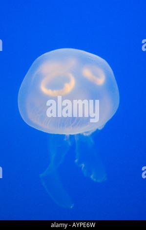 Mond Qualle (Aurelia Golden) in Gefangenschaft, Vancouver Aquarium, British Columbia, Kanada. Stockfoto