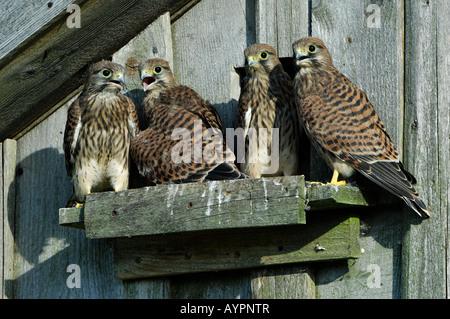 Junge eurasische Turmfalken (Falco Tinnunculus) kurz vor Ihrem Flug, sch.ools.it Alb, Baden-Württemberg, Deutschland - Stockfoto