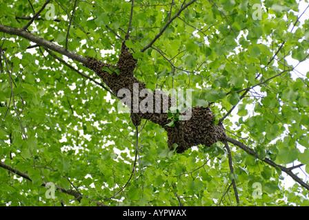Schwarm von Honigbienen (Apis) in einem Lindenbaum (Linden) - Stockfoto