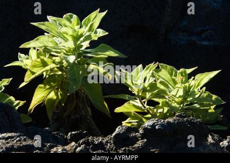 Strahlen Sie Leitung Scalesia (Scalesia Affinis) endemischer Strauch Punta Moreno Isabela Galapagos Ecuador - Stockfoto