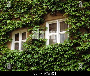 Hauswand Mit Efeubewuchs, Fenster, Soziale Wohnsiedlung Fuggerei in Augsburg, Lech, Schwaben, Bayern - Stockfoto