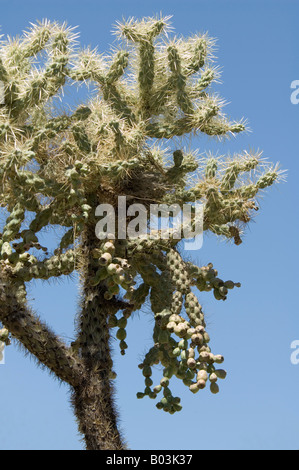 Teddy Bear Cholla Cactus Opuntia Bigelovii Arizona USA - Stockfoto