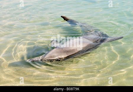Indo-Pazifik große Tümmler (Tursiops Aduncus) spielen im flachen Wasser, Monkey Mia, Shark Bay, Western Australia, - Stockfoto