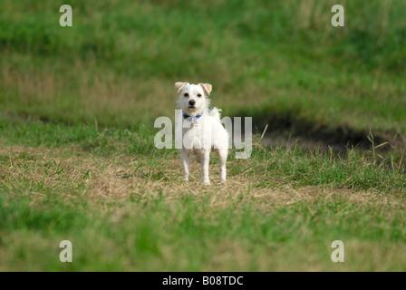 Kleine weiße Mischlingshund - Stockfoto