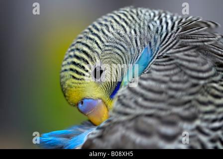 Junge Wellensittich, Wellensittich (Melopsittacus Undulatus) Reinigung sein Gefieder - Stockfoto