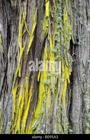 Flechten wachsen auf der Rinde eines Tuart Baum (Eukalyptus Gomphocephala), Tuart Forest National Park, Busselton, - Stockfoto