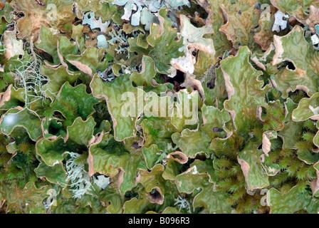 Baum, Lungenkraut oder Lunge Flechten (Lobaria Pulmonaria), Grosser Ahornboden, Karwendel-Bereich, Tirol, Österreich - Stockfoto
