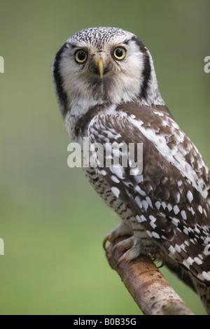 Nördlichen Sperbereule - Surnia ulula - Stockfoto
