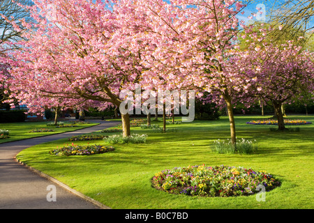 Frühling blühenden Beeten und blühende Kirschbäume Bäume in städtischen Gärten, Swindon, Wiltshire, England, UK - Stockfoto