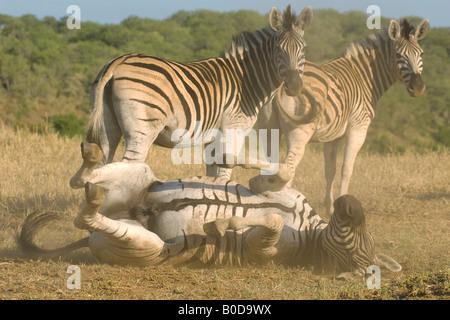 Ein Hengst Burchells Zebra, Equus Burchelli rollt in den Staub um sich von Zecken und Parasiten zu befreien. - Stockfoto
