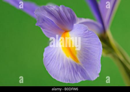 Iris Blume