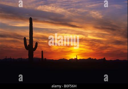 Saguaro-Kaktus vor dramatischen Sonnenuntergang Himmel, Saguaro National Park, Arizona USA - Stockfoto