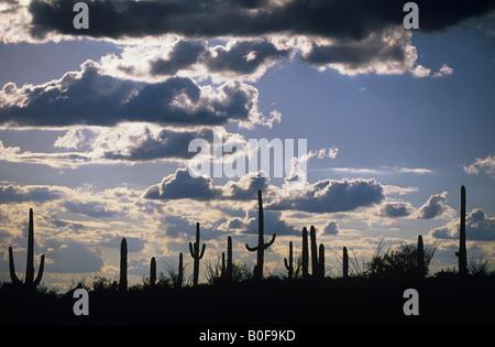 Eine Reihe von Saguaro Kakteen sind Silhouette gegen einen Nachmittag Himmel