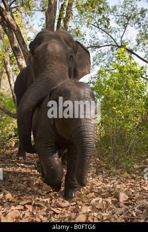 Mutter und Baby Indische Elefanten gemeinsam spielen, nachdem sie von ihren Mahouts im Wald der Kanha Wildlife Park - Stockfoto