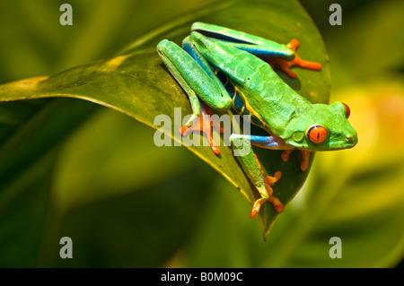COSTA RICA Red Eyed Laubfrosch ruht auf der Anlage. Agalychis Calydrias - Stockfoto