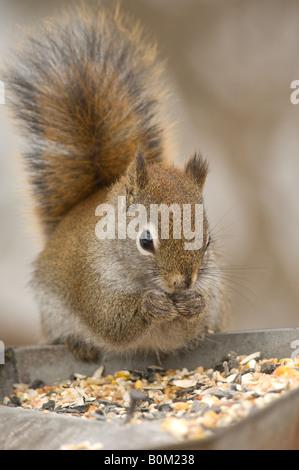 Ein Amerikanisches Rotes Eichhörnchen überfällt ein Vogelhaus für Samen im Winter. - Stockfoto