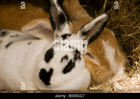 Ein Paar niedlicher Haustierbunnelkaninchen (Orycolagus cuniculus) schnupfte zusammen - Stockfoto