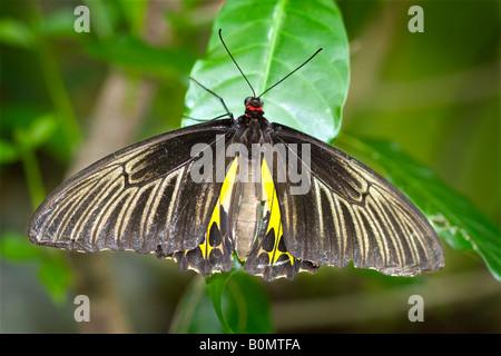 Weibliche gemeinsame Birdwing Schmetterling, Trioden Helena Cerberus - Stockfoto
