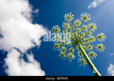 Ein blühender Garten Angelica Dolde (Angelica Archangelica). Ombelle d'Angélique Officinale de Fleurs, au Printemps. - Stockfoto