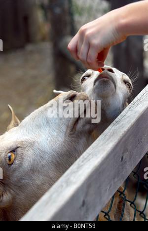 Ein Kind füttern Ziegen im Streichelzoo - Stockfoto