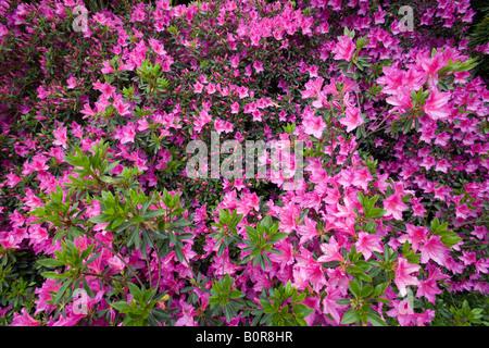 Ein Büschel von blühenden Azaleen (Frankreich). Massif d'Azalées du Japon (Rhododendron sp) En Fleurs (Frankreich). - Stockfoto