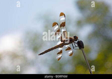 Dragonfly Drachen fliegen Maid mit gestreiften Flügel auf Auto Antennen - Stockfoto