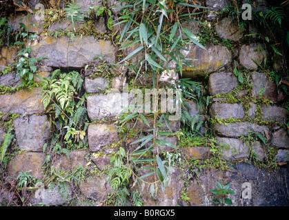 Dschungel bedeckten Steinmauer in der Nähe von Inka-Ruinen von Winay Wayna peru - Stockfoto