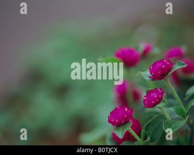 Globe Amaranth, Gomphrena globosa - Stockfoto