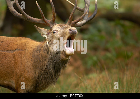 Rothirsch, Cervus Elaphus, brüllend im Richmond Park, London - Stockfoto