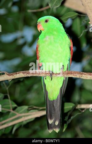 Red-winged Parrot (Aprosmictus Erythropterus), Männlich - Stockfoto