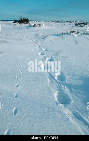 Eisbär (Ursus Maritimus), Spuren von Eisbären und Polarfüchse, Kanada, Churchill - Stockfoto