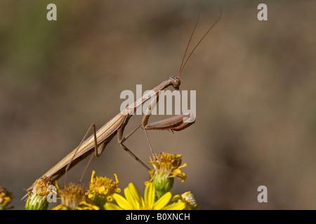 Gottesanbeterin (Mantis Religiosa), Nahaufnahme - Stockfoto