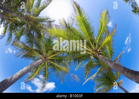 Kokosnuss-Palmen, Blick nach oben in Miami Beach, Florida - Stockfoto