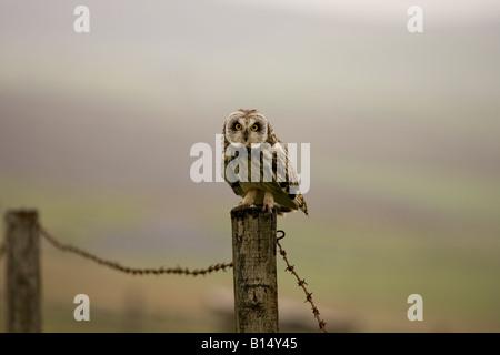 Kurze Eared Owl (Asio Flammeus) auf den Orkney-Inseln vor der Nordost-Küste von Schottland - Stockfoto