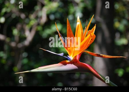Paradiesvogel Blume, Taormina, Provinz Messina, Sizilien, Italien - Stockfoto