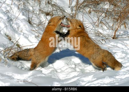 Zwei Red Fox bei spielen Vulpes Vulpes Winter einstellen Nordamerika - Stockfoto