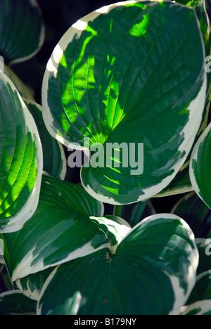 Hosta Blätter mit weißen Rändern Hintergrundbeleuchtung. - Stockfoto