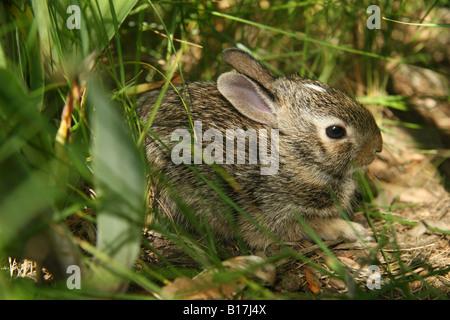 Östlichen Cottontail Kaninchen Kätzchen im Unterholz versteckt. - Stockfoto